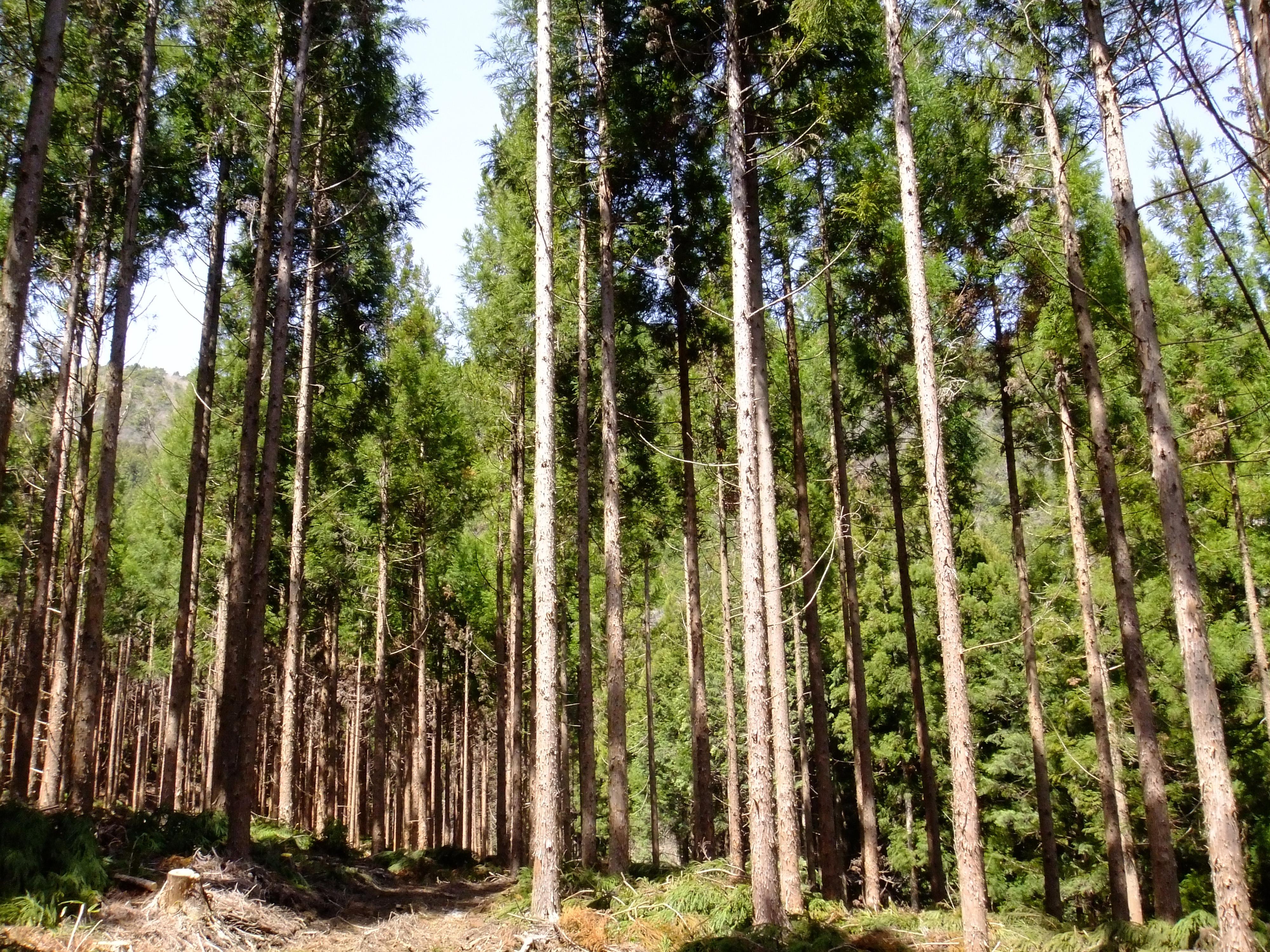 高知の杉林
